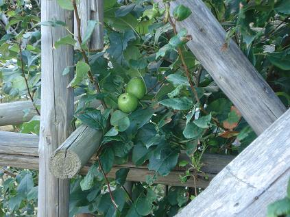 appleslit.JPG