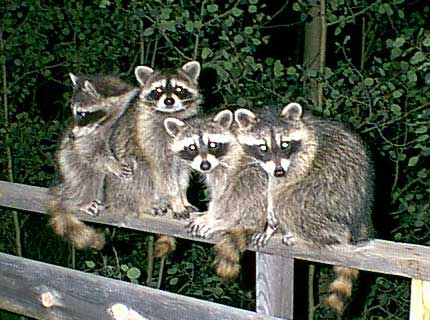 Frandsen appointed Minister of Raccoons and 42